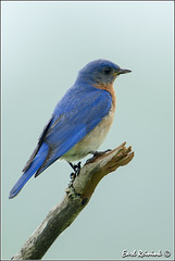 Eastern Bluebird (Earl Reinink) Tags: ontario canada nature nikon flickr earl bluebird easternbluebird naturephotography earlreinink reinink tiaatardha