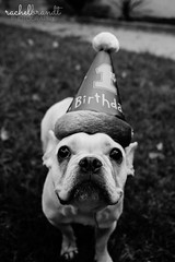 July 12 : Knox is One! (RachelBrandtPhotography) Tags: birthday blackandwhite dog frenchbulldog brthdayhat