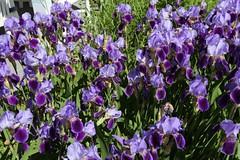 Wendy's Irises