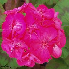 A pink Geranium (pat.bluey) Tags: pink flowers friends australia newsouthwales blacktown 1001nights mygarden geranium flickraward 1001nightsmagiccity hennysgardens sunrays5