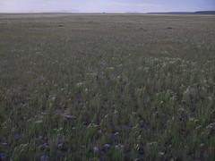 Hordeum jubatum at Lake Malheur (Matt Lavin) Tags: oregon native burns poaceae perennial foxtailbarley bunchgrass steensmountains hordeumjubatum triticeae coolseason silkenrye