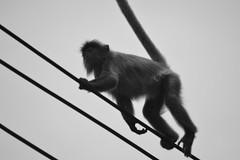 Silvered Langur Crossing (mcoughlin) Tags: sarawak malaysia borneo primate langur bakonationalpark silveredlangur