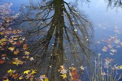 Upper Pond, Idlewild Park (Narodnie Mstiteli) Tags: pond upperpond idlewildpark leavesinwater tridentmaple arboretum reno nevada reflection hardwood deciduous