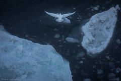 Ivory gull (Elvar H) Tags: arcticocean harpseal helmerhansen phocagroenlandica siarctic grnlandssel seal sealsampling sel vuselur