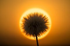 Burning feathers (jarnasen) Tags: nikon d810 sigma105mmf28 freehand handheld sun macro sky flower maskros copyright jrnsen jarnasen sweden sverige centered dandelion evening sunset field circle light abstract halo