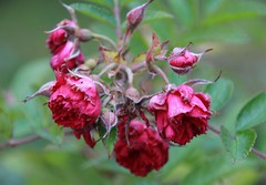 Time is gone of these roses (irio.jyske) Tags: autumn red gewwn colors canon nice garden sigma flower