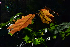 Autumn leaves (LidyvN) Tags: autumn icm movement green yellow brown wood tree orange red season nature forest leaves