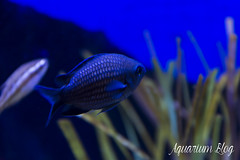 Chromis chromis (AquariumBlog.es) Tags: acuario aquarium peces fish pez marino saltwater water freshwater dulce agua corales payaso clown sepia acantharus pterois pomacanthus barcelona arrecife reef