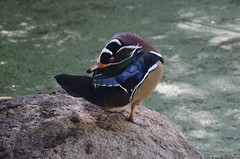Wood Duck preening at Albuquerque Botanical Garden (steve_scordino) Tags: