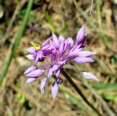 King's Park flowers. (joyteale) Tags: kingspark beautifulsunnyday schoolholidays grandchildren purpletassels sowerbaealaxiflora