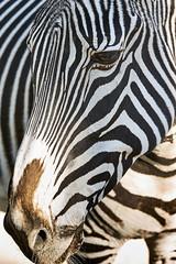 Zebra (Joao Eduardo Figueiredo) Tags: zebre zoo jardim zoológico lisboa lisbonne lisbon portugal wild animals animais selvagens gardens bear bears urso ursos nikon d3x lissabon joão capital joao eduardo figueiredo joaoeduardofigueiredo zebra zebras