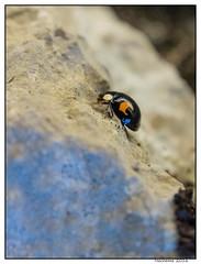 2016-06-26_Coccinelle-0002 (Hacheme 26) Tags: animaux coccinelle insecte natureetpaysages pierrelongue france