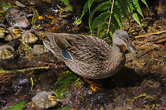 IMGP5658 Mallard with 5 ducklings Zealandia Wellington NZ  05-11-16 (Donald Laing) Tags: new zealand wellington zealandia wildlife sanctuary native birds donald laing