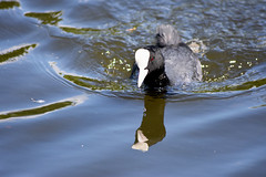 Coot (Glenn Pye) Tags: coot birds bird wildlife nature nikon nikond7200 d7200