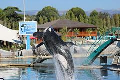 IMG_6849 (Bebelouga) Tags: orque marineland killerwhale orca