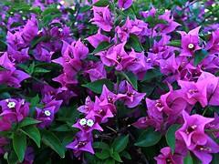 1 Purple and Exotic (Mertonian) Tags: mertonian purple pink green robertcowlishaw canon powershot g7x mark ii canonpowershotg7xmarkii maui2016 maui island paradise nature awe wonder ineffable beautiful beauty cluster flowers