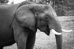 Gotta have an elephant photo (sniggie) Tags: elephant zoo louisvillezoo animal mammal monochrome
