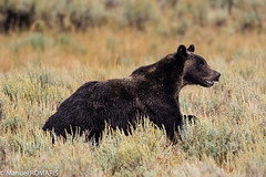 Brown Bear, Yellowstone (Manuel ROMARS) Tags: yellowstonenationalpark grizzly wyoming brownbear