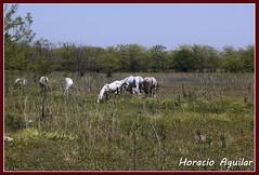 Humedal - Reserva Urbana Pilar (Florián Paucke) Tags: humedal caballos tropilla ecología ecosistema biología biodiverdidad naturaleza naturalista pastizaldeinundación horizonte tranquilidad pastura
