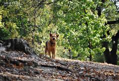 Not One Step Further (Hi-Fi Fotos) Tags: dog pup pooch canine animal guard protect warn focus alert outdoors trees stump nikon d5000 sigma 18250 hififotos hallewell