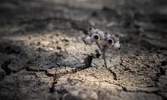 Drought... (Alex Savenok) Tags: drought weather israelwinter2016 dryland savetheplanet helios442 d610