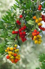Corbezzolo ... Strawberry tree (Marco_964) Tags: strawberrytree corbezzolo colori rosso giallo albero ciliege color red yellow bokeh pentax