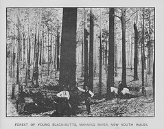 Forest of  young Black-Butts from Manning River  - New South Wales, The Mother Colony 1896 (AndyBrii) Tags: nsw newsouthwales 1896 frankhutchinson sydney