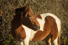 Pony 1 (Michael P Bartlett) Tags: ponies maryland wild horses wildhorses assateagueisland d750