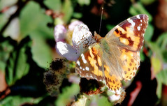 Painted lady on blackberry (TJ Gehling) Tags: insect lepidoptera butterfly nymphalidae lady ladybutterfly paintedlady vanessa vanessacardui plant flower berry rosales rosaceae blackbery himalayanblackberry rubusarmeniacus rubusbifrons pointmolate richmondca