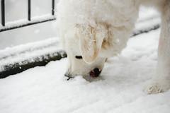 Snowy happiness (balu51) Tags: schnee schneefall hund kuvasz ungarischerhirtenhund weiss freude wintereinbruch november 2016 copyrightbybalu51