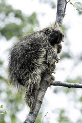 Now that is just plain rude (Alan Vernon.) Tags: north american porcupine erethizon dorsatum herbivore rodent rodentia tongue mammal climb climbing tree eat leaves eating quills alaska