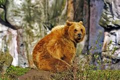 Braunbr (Michael Dring) Tags: gelsenkirchen bismarck zoomerlebniswelt zoo braunbr sp150600 d7200 michaeldring inexplore