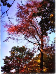 (Ruth Nicholas) Tags: falltrees vibrantred pretty bluesky treetops outdoors nature sunsprinkles richcolors