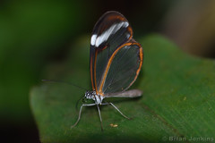 Glasswinged Butterfly (Bri_J) Tags: tropicalbutterflyhouse northanston sheffield southyorkshire uk butterflyhouse yorkshire nikon d7200 glasswingedbutterfly butterfly gretaoto