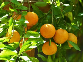 Sundrenched Clementines