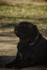 DSC_0058 (Harlum) Tags: boxer germanshepherd lab dogpark wolfhybrid husky malamute nikon nikond100 nikond5100 dogs