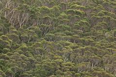 Tasman Peninsula (Cape Raoul) - Bush (m_neumann) Tags: australien caperaoultrack tasmanien tasmania australia discovertasmania vegetation bush trees caperaoul cape raoul tasmannationalpark