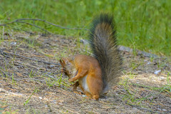 What have i done (photoyozh) Tags: nature animal wild squirel forest outdoor