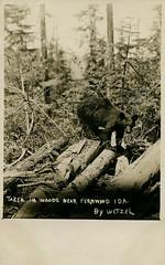 Black Bear, circa 1910 - Fernwood, Idaho (Shook Photos) Tags: postcard postcards rppc realphotopostcard realphotopostcards bear blackbear woods forest timberland fernwoodidaho fernwood idaho benewahcounty