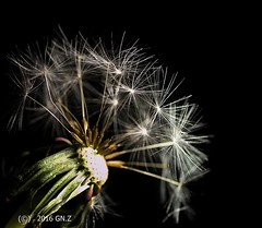 The last dandelion fluff (Greet N.) Tags: dandelion seeds fluff nature plant wildflora macro november