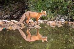 Rotfuchs; Vulpes vulpes (matthias.hoelz) Tags: neckar fuchs rotfuchs vulpes