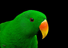 IMGP9505 Green Parrot (tsuping.liu) Tags: outdoor organicpatttern blackbackground birds green darkbackground deptoffield focus nature natureselegantshots naturesfinest animal ecology photoborder perspective pattern