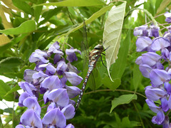 Dragonfly (Essex Explorer) Tags: p1090155 dragonfly wisteria rayleigh essex