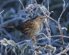 Dunnock : Prunella modularis (Jerry Hawker) Tags: somerset somersetlevels rspbgreylake jerryhawker frost ice frosty dunnock prunellamodularis