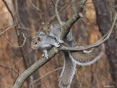 """Eastern Gray Squirrel"" ""Sciurus carolinensis"" (jackhawk9) Tags: easterngraysquirrel sciuruscarolinensis nature wildlife backyardbirding newjersey usa jackhawk9 southjersey canon ngc"