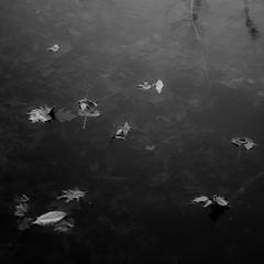 Pond Surface Layers 006 (noahbw) Tags: captaindanielwrightwoods d5000 nikon abstract autumn blackwhite blackandwhite bw forest landscape leaves minimal minimalism monochrome natural noahbw pond quiet square still stillness water woods