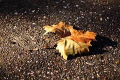 Autumn/Jesen (salaminijo) Tags: canon markiii eos 1d leaf list light svetlost outdoor 50mm18ii concrete pics photo nature priroda amateur autumn color street explore november autumnday jesen focus bgd belgrade ser colorphoto view