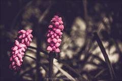 Arum maculatum (pajus79) Tags: nikon d80 arum maculatum sepia colour tone pink shadow dark light forest plant poison herb