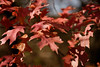 Oak Leaves in Fall (drbensonjr) Tags: leaves nature bakerwetlands