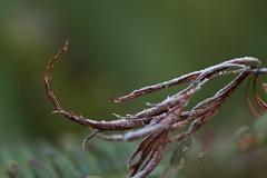acer leaf in frost (AngharadW) Tags: macro outdoor curve foliage leaf acer pattern dof cardiff cymru wales caerdydd